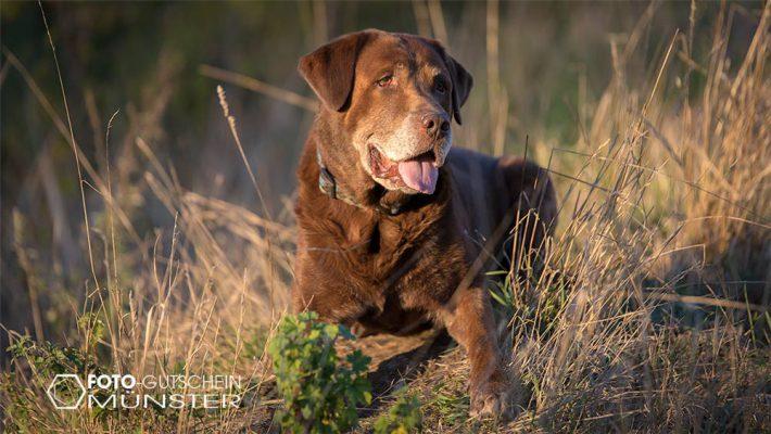 Labrador Fotoshooting