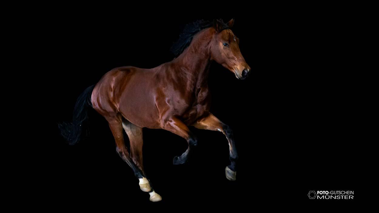 Pferd vor schwarzem Hintergund Gutschein